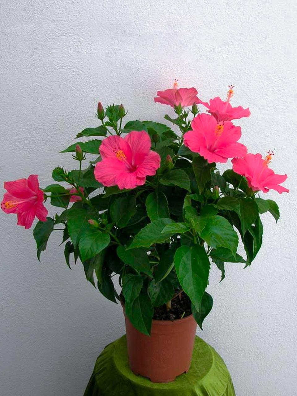 <B style='color:aqua'>SOLO RIMINI CITTA'</B> - Hibiscus vari colori vaso diametro cm. 14