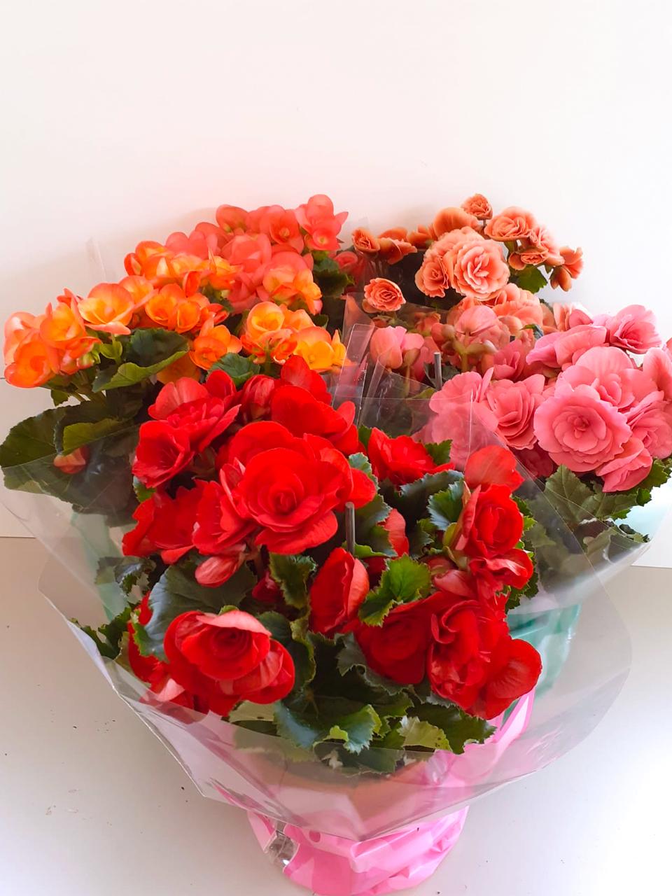 <B style='color:aqua'>SOLO RIMINI CITTA'</B> - Begonia vari colori vaso diametro cm. 14
